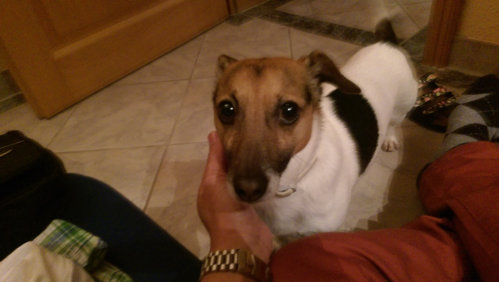 Meet Chookoo... The little Jack Russel. One of my favorite dog breeds.
